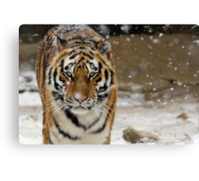 Tiger Snow Canvas Print