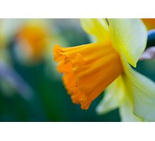 One thousand and one yellow daffodils Photographic Print