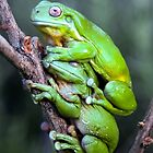 Green tree frogs by Robert Sturman