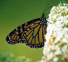 Monarch on White Butterfly Bush by mklue