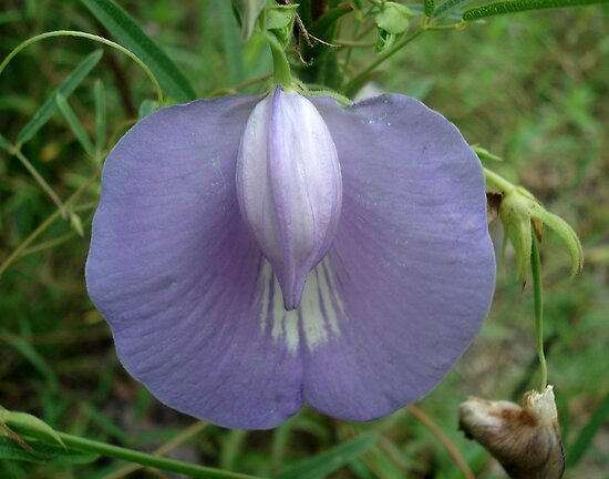 Butterfly Pea - Clitoria mariana by May Lattanzio