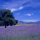 The Bridestowe Estate Lavender Farm, Tasmania, Australia by Debbie Steer