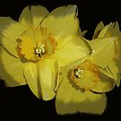 Daffodils..............................Most Products by Fara