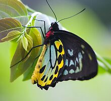 Butterfly by Allan Walters