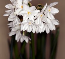 Narcissi by Brian Haslam