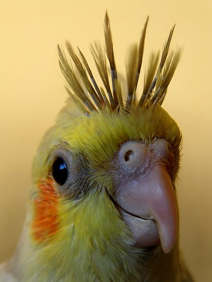 Cockatiel without feathers - photo#27