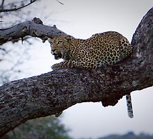 Leopard in a Tree - White by Tobin Rogers