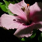 Beautiful pink hibiscus by Hannah Fenton-Williams