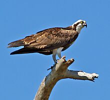 Osprey Watches Closely by Memaa