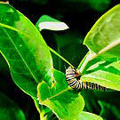 Monarch Caterpillar by Geoffrey