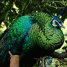 Peacock by Steven Maynard