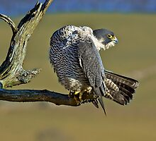 Peregrine stretching by wildlifephoto