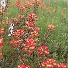 Indian Paintbrush  by May Lattanzio