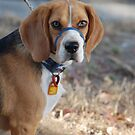 Pearl - The Beagle  by lettie1957