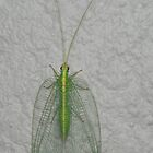 Green Lacewing by Trevor Needham
