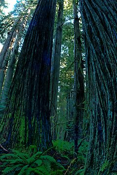Redwoods HDR by Harry Snowden