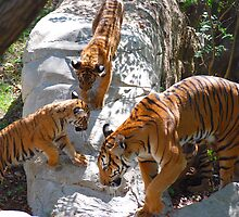 Tiger cubs and mother by Brian Humek