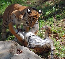 Playing tiger cubs by Brian Humek