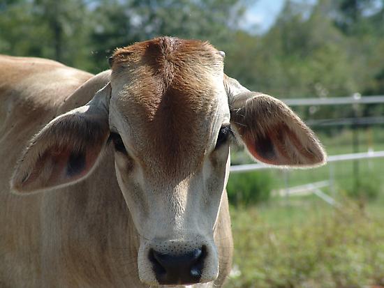 Brahma calf by May Lattanzio