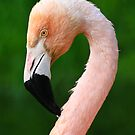 Pink Flamingo by Nickolay Stanev