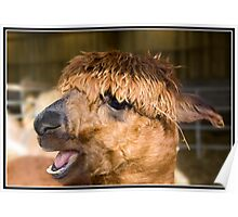 Alpaca at the wild board park near Chipping Poster