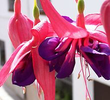Fantastic Fuchsia by justbyjulie