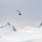 Terning across the mountains by David Burren