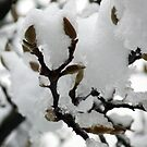 Buds under the new snow by presbi