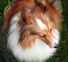 Shetland Sheep Dog by Roz McQuillan
