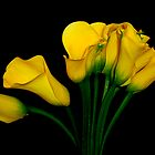 Yellow Callas by ccmerino