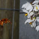 Bee Hovering by sarahncraig