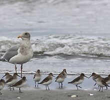 Glaucous-winged Gull Hybrid with Dunlin by Jillian Johnston