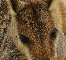 Up Close with a Wild Rock Wallaby by Of Land & Ocean - Samantha Goode