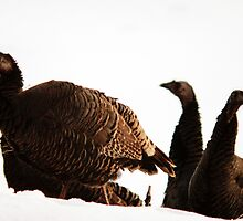 Wild Turkeys by Ryan Houston