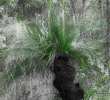 Xanthorrhoea/Grass Tree by Elaine Teague