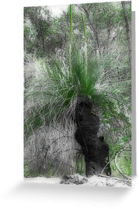 Xanthorrhoea/Grass Tree by Elaine Teague