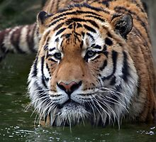 Wading Amur Tiger by Jonathan Carre