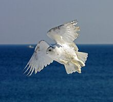 Snowy Owl in Flight by lloydsjourney