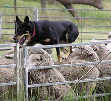 Sheep dog trials Taralga Rodeo 2009 by paulkoppe