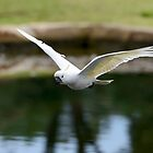 Cockatoo in Flight by Chris  Randall