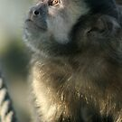 Brown/Tufted Capuchin (Cebus apella) by amjaywed