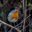 WINTER ROBIN II by Chris Clark