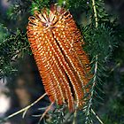 ~Banksia~ by Debra LINKEVICS