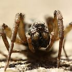 Wolf Spider by Adam Evans