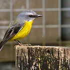 Eastern Yellow Robin, Queensland, Australia by Adrian Paul