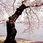 Cherry blossom tree on the tidal basin by LittleBird