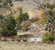 Merino sheep round a dam by Traffordphotos