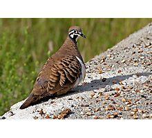 Squatter Pigeon Photographic Print