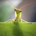 Praying mantis by Sally  Djurovich