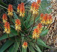 African Native Aloe, Kings Park, Perth, Western Australia by Adrian Paul